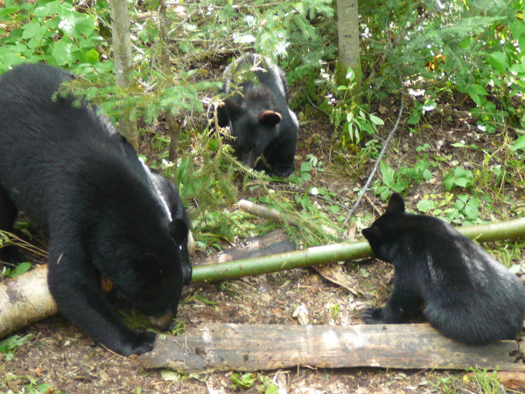 Rick snapped this photo of a sow and her cubs from his tree stand.
